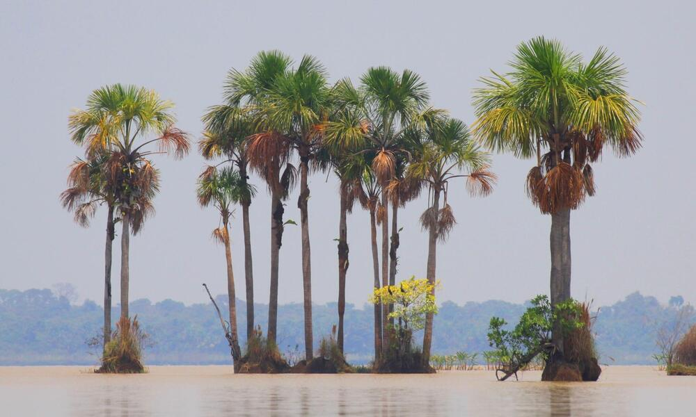Palm stand in the Llanos de Moxos wetlands