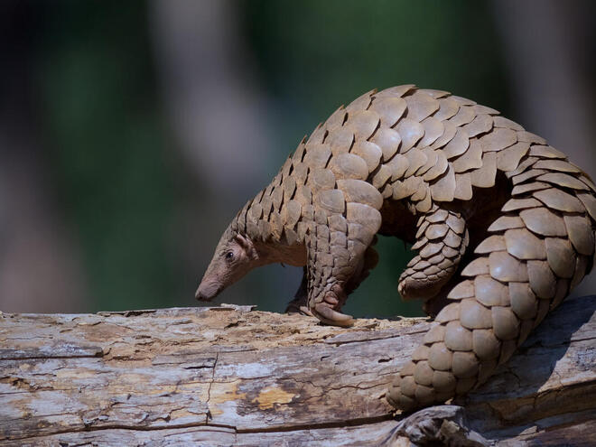 A pangolin sits on a tree branch on a reserve in India