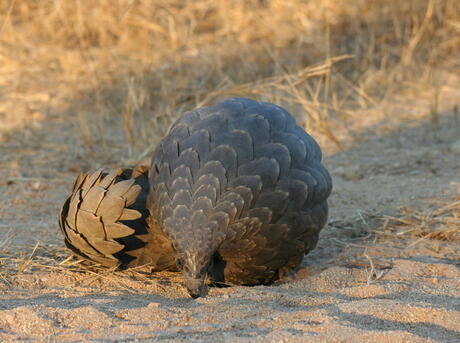 pangolin curled in defense