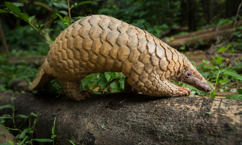 A pangolin forages for food by sniffing along the ground