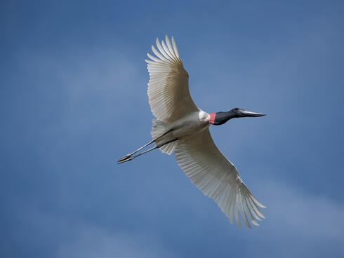 Flying jabiru