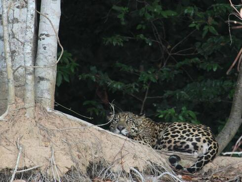 Jaguar on the Pantanal, Porto Jofre, Brazil.