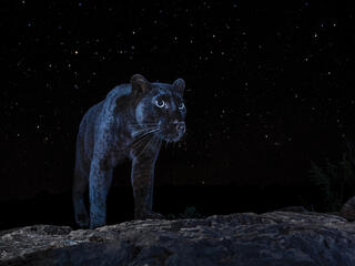 Black panther silhouetted on night sky