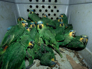 At least 16 green parrots all shoved into a small gray plastic box with air holes