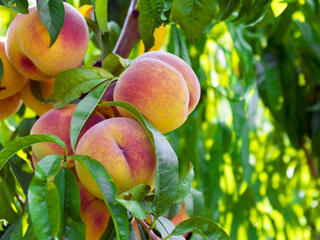 Peaches in a tree