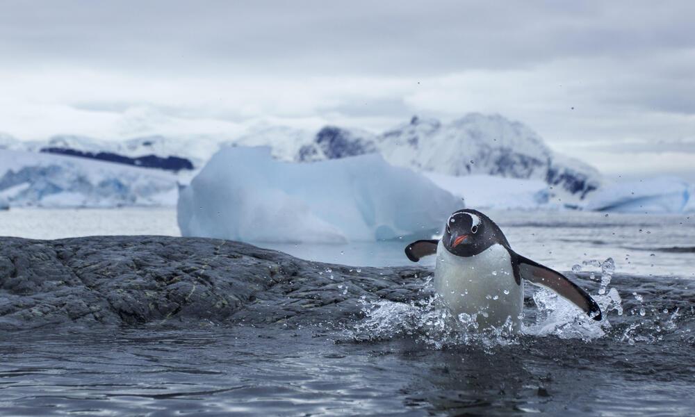 penguin jumps