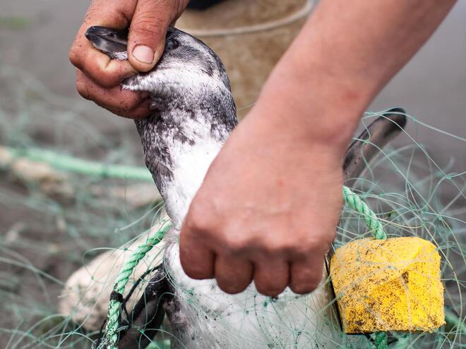 penguin bycatch