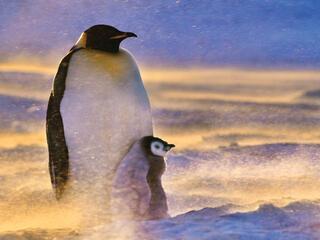 penguins in wind