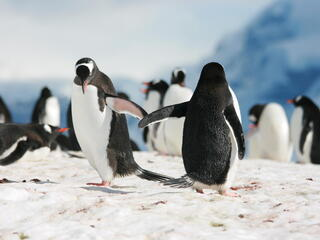 penguins touching wings