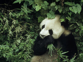 Ailuropoda melanoleuca Giant panda 6 year old male eating bamboo Wolong Research Centre, China Project number: CN0022 Project number: CN0005