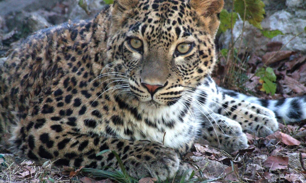 Photos from the Centre for breeding and reintroduction of Persian leopards in Caucasus, December 2010