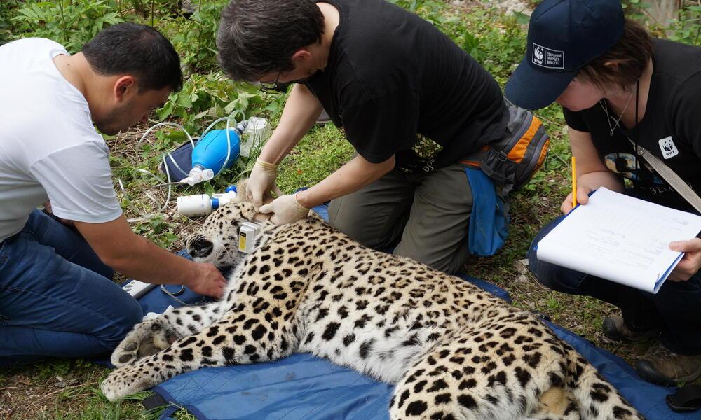 Putting on of GPS-collars on the leopards, April 2016
