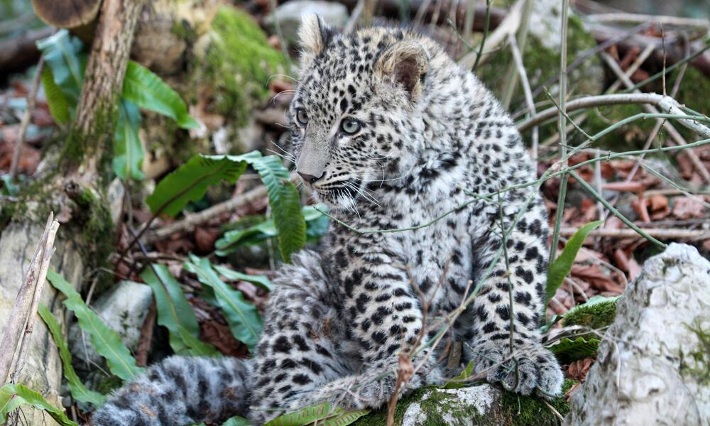 Leopard Grom, refused by it`s mother, 2014