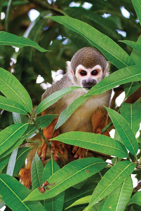 Monkey peeking through leaves