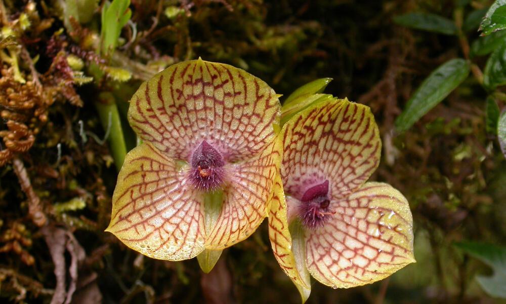 Peruvian Orchid, genus Telipogon