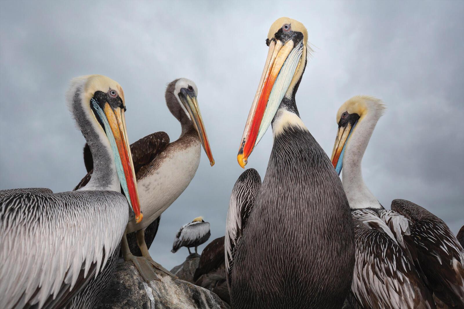 Closeup of 4 pelicans