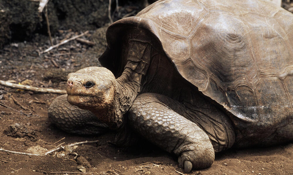 """""""Lonesome George"""" is the last individual from this species, the Pinta Island Tortoise"""