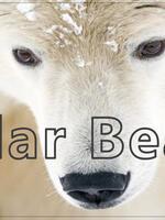 Polar Bear Classroom Presentation Brochure