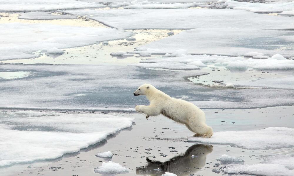 polar bear jumps over water