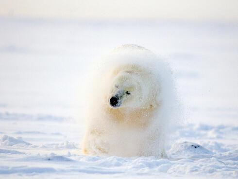 polar bear shakes its fur