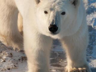 Polar bear looking at camera