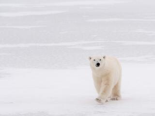 polar bear walks toward camera