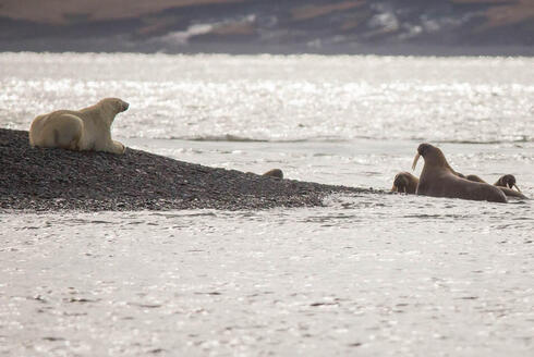 polar bear feigns sleep