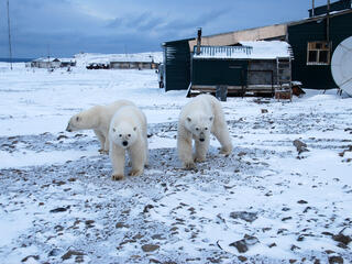 Three polar bears are shown in front of a home or building structure in snowy Russia