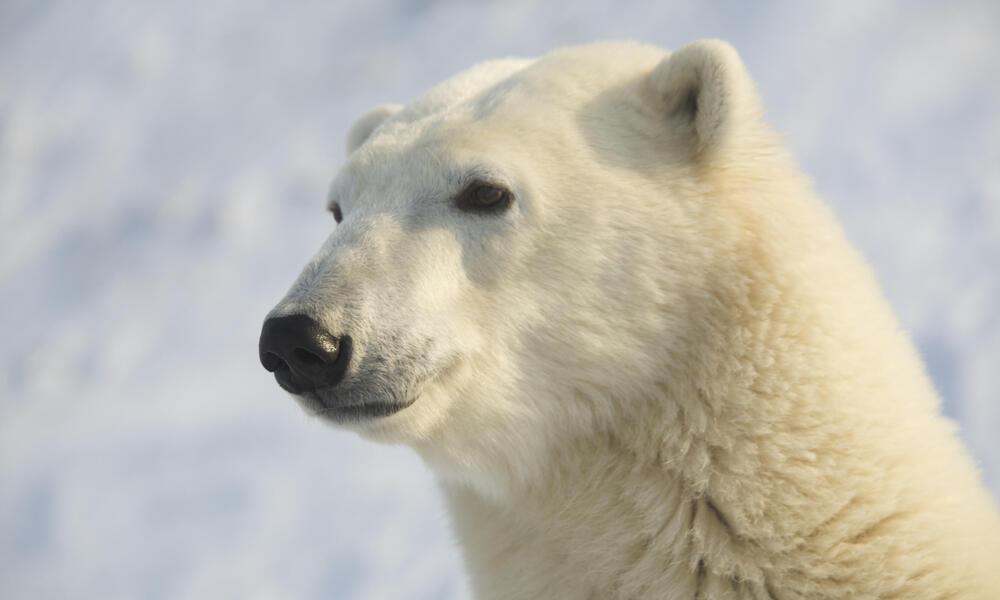 Bear in Profile