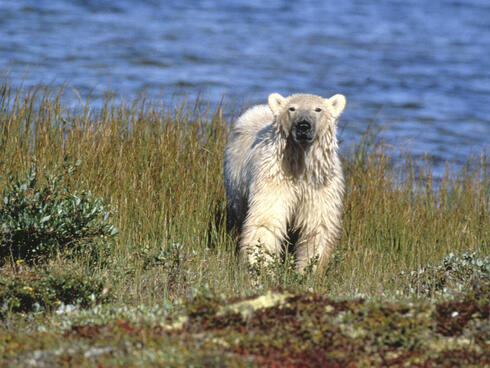 A polar bear stands in front of the blue waters of Hudson Bay
