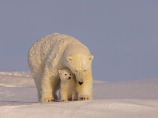 Polar bear cub sits in between its mother's front legs.