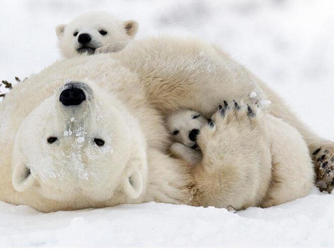 Polar bear with cubs in Churchill, Canada
