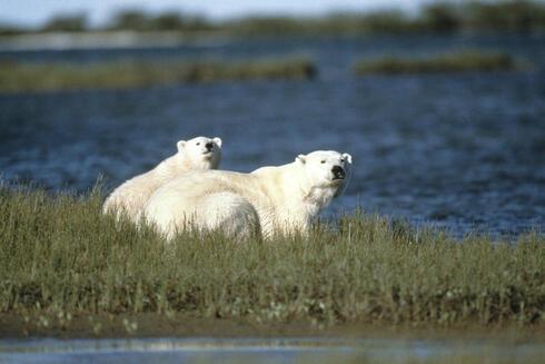 Polar bear and cub sitting by a river in Churchill, Canada