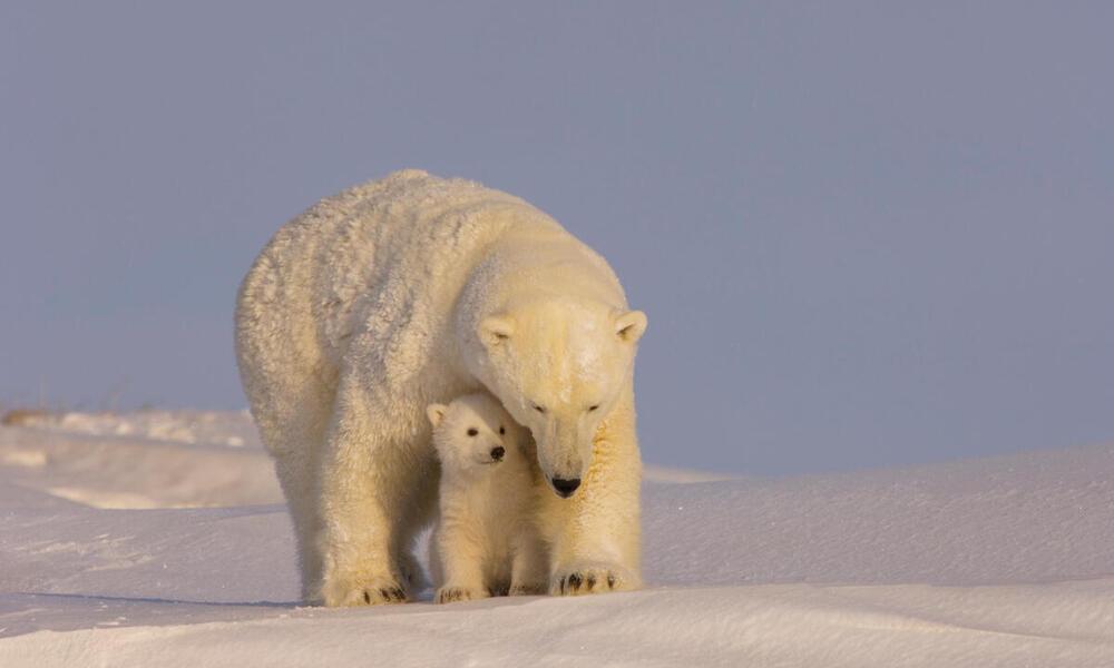 Polar bear cub with her sow
