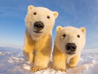 Two young polar bears