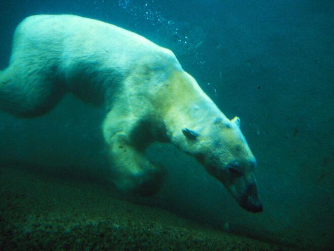 Ursus maritimus Polar bear swimming underwater. Hudson Bay, Canada