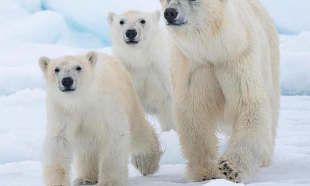Polar bear mom and cubs walking through the snow
