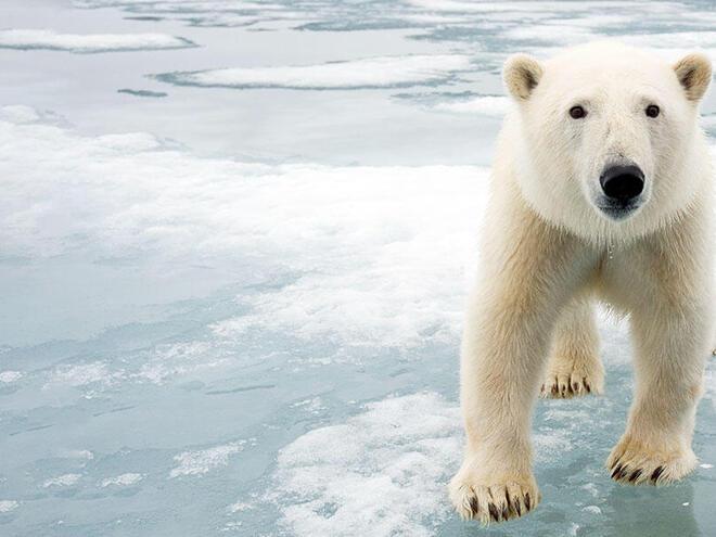 A large polar bear on sea ice faces the camera.