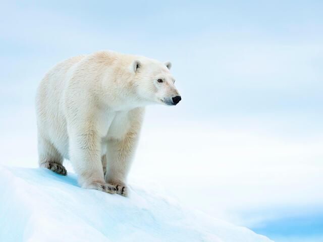 Polar bear (Ursus maritimus) on ice floe. Svalbard, Norway.
