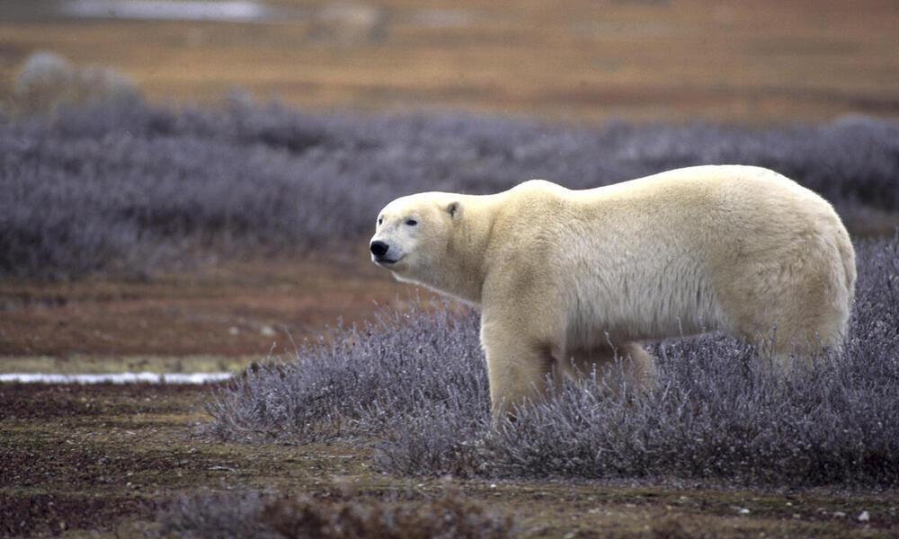 Polar bear on summer tundra