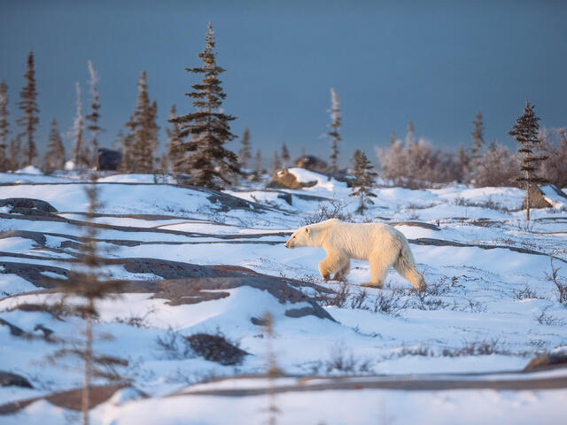 Polar Bear (Ursus maritimus) walking in Churchill, Canada.