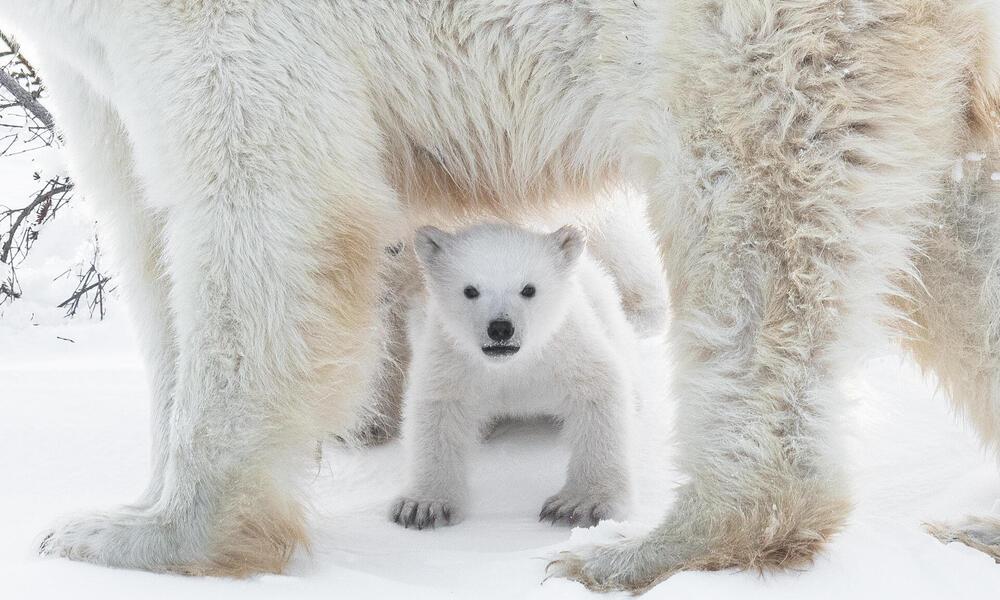 Polar bear (Ursus maritimus) in the Wapusk National Park, Churchill, Canada