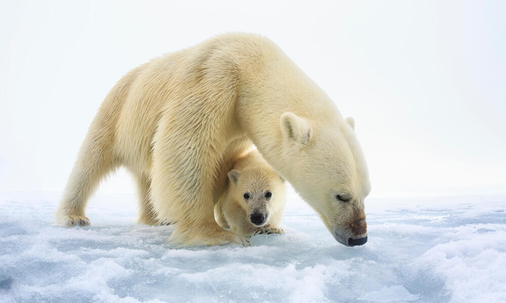 Polar bear (Ursus maritimus) female with a single young cub, only a few months old, northern Svalbard, Norway, June
