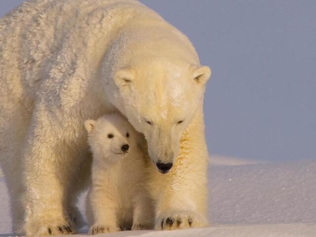 Polar-bear-with-cubs-in-Arctic-Wildlife-Natl-Refuge