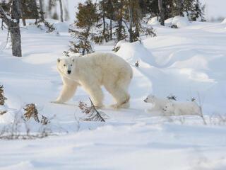 Cubs chasing mother polar bear