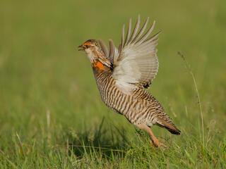 prairie chicken mating dance