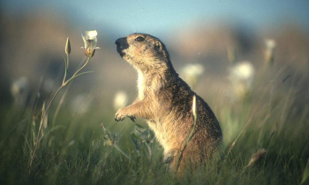 prairie dog in field