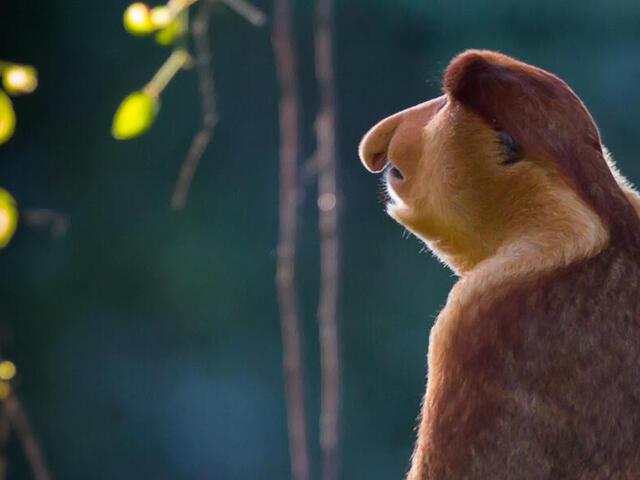 Proboscis Monkey Anthony Thijssen WW267478