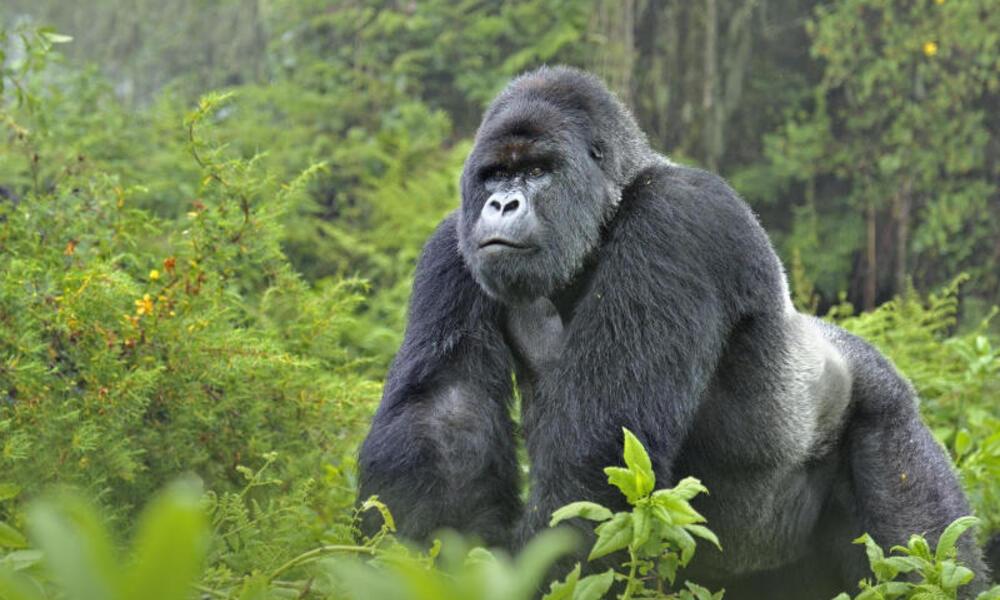 gorilla in woods