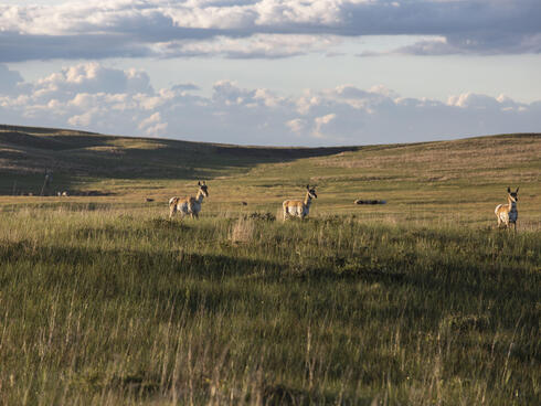 Three pronghorn stand in hilly grassland as the sun sets in Nebraska.